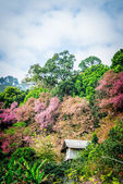 Wooden house in mountain of Pinky Wild Himalayan Cherry flower3 — Stock Photo