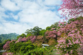 Wooden house in mountain of Pinky Wild Himalayan Cherry flower7 — Stock Photo