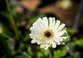 White gerbera flower in the garden — Stock Photo