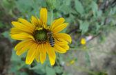蜂の授粉 — ストック写真