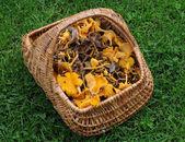 Basket full of chanterelles — Stock Photo