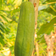 Papaya Tree — Foto Stock