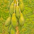 Stock Photo: Papaya Tree