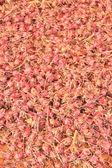 玫瑰茄 — 图库照片