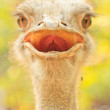 Ostrich — Stock Photo #28404891