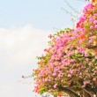 Bougainvillea — Stock Photo #28628491