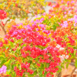 Bougainvillea — Stock Photo #28628845