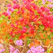 Bougainvillea — Stock Photo #28629119