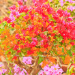 Stock Photo: Bougainvillea