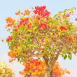Bougainvillea — Stock Photo #28629391