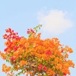 Bougainvillea — Foto Stock