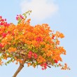 Bougainvillea — Stock Photo #28629721