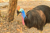 Cassowary — Photo