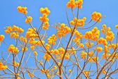 Yellow cotton tree — Stock Photo
