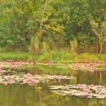 Pink lotus — Stock Photo #29886585