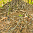 Root of tree — Stock Photo