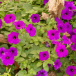Violet colour flowe — Foto Stock
