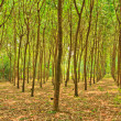 Stock Photo: Rubber trees