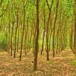 Foto Stock: Rubber trees