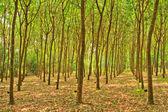 резиновые деревья — Стоковое фото
