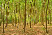 árboles de caucho — Foto de Stock
