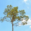 Dipterocarpus alatu — Stock Photo