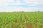 Baby corns — Stock Photo