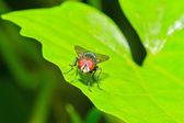 Opalescant fly — Stock Photo