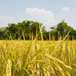 Rice fields — Stock Photo #47887373