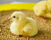 Chicks — Foto de Stock