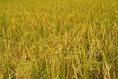 Rice fields  — Stock Photo