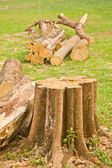 tree stump  — Stock Photo