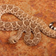 Western Diamondback Rattlesnake. - Stock Photo