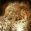 Stock Photo: Leopard.