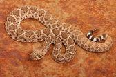 Western Diamondback Rattlesnake. — Stock Photo