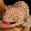 Tokay Gecko - Stock Photo