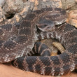 Stock Photo: Southern Pacific Rattlesnake