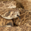 Royalty-Free Stock Photo: Western Diamondback Rattlesnake