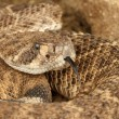 serpiente de cascabel occidental — Foto de stock #12484050