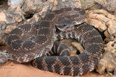 Southern Pacific Rattlesnake — Stock Photo