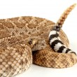 Royalty-Free Stock Photo: Western Diamondback Rattlesnake (Crotalus atrox).