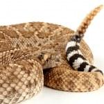 Western Diamondback Rattlesnake (Crotalus atrox). — Zdjęcie stockowe