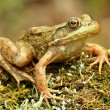 Frog sitting on a mossy log. — Stock Photo