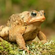 Toad with an attitude sitting on a mossy log. — Stock Photo