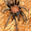 Costa Rican Tiger Rump tarantula. - Stock Photo