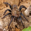 Cobalt Blue Tarantula (Haplopelma lividum) — Stock Photo
