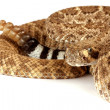 Western Diamondback Rattlesnake (Crotalus atrox). - Stock Photo