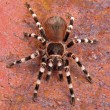 Brazilian White Stripe Tarantula — Stock Photo