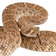 Western Diamondback Rattlesnake (Crotalus atrox). — Stock Photo #12560258