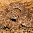 Western Diamondback Rattlesnake (Crotalus atrox). — Photo #12560264